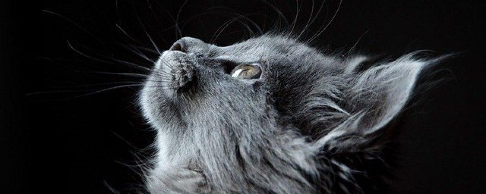 Le ronronnement du chat