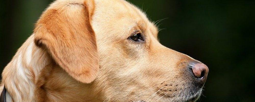 La castration et stérilisation du chien